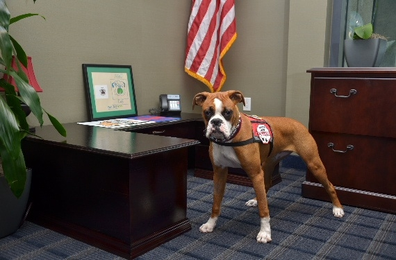 Buster the fraud fighting Boxer